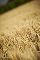 champ de maïs doré, prêt pour la récolte