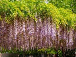 série de fleurs de printemps, glycine violette photo