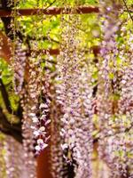 série de fleurs de printemps, treillis de glycine photo