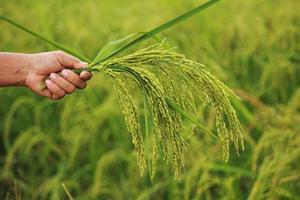 épi de riz à la main photo