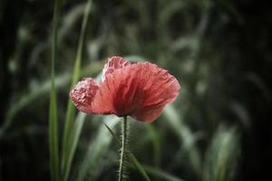 tache sombre de pavot rouge photo