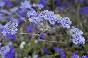 fleurs sauvages pourpres de l'ouest de l'Australie photo