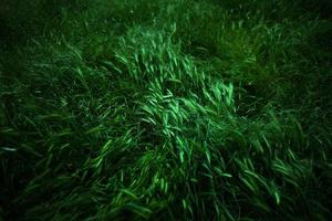 blé sur un gros plan de pré