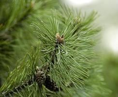 branche de sapin avec cône photo