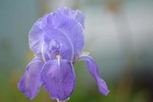 iris, fleur ouverte
