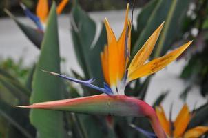 oiseau de paradis fleur photo