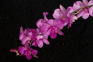 Orchidée rose dendrobium en goutte de pluie