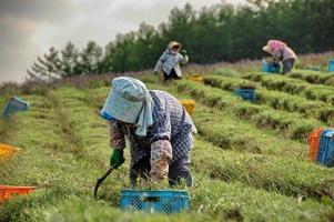 agriculteurs japonais de lavande 2