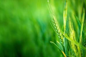 Tête de blé vert dans un champ agricole cultivé