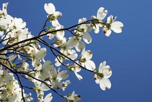fleurs de cornouiller photo