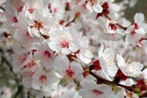 fleurs d'abricot sur la branche