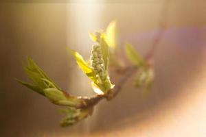 bourgeons sur la branche