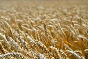 blé complet