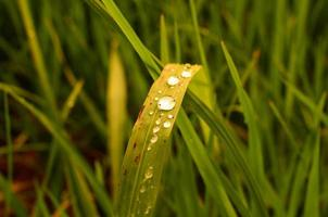 feuilles de riz paddy photo