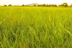 rizières à la campagne photo