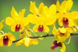 fleurs tropicales de frangipanier (plumeria) photo