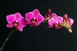 orchidée rose sur fond noir