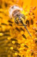 macro d'abeille pollen