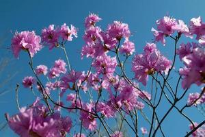 fleurs d'azalée au printemps
