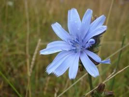 fleur bleue dans l'herbe