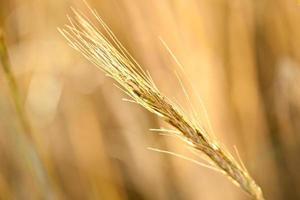 blé mûr dans un champ photo