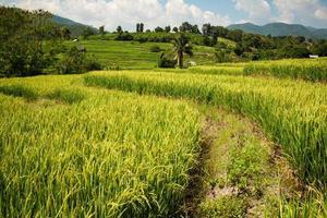 approche de la saison de récolte du riz doré