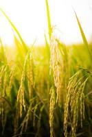 Gros plan du champ de riz photo