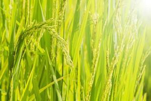 riz dans le champ photo