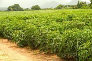 champ de manioc. photo