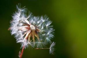 fleur de pissenlit. fermer