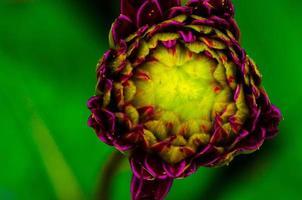 fleur de dahlia variabilis