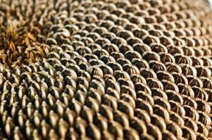 graines de tournesol photo