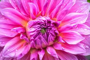 fleur de dahlia rose gros plan
