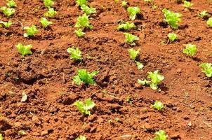 plants de laitue sur un champ