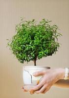 jeune myrte une plante en pot