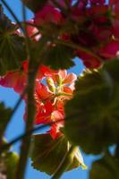 Fleurs de plantes pélargonium par le bas