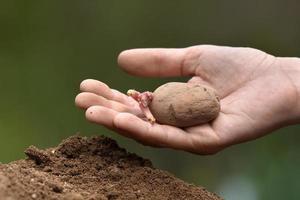plantation de pommes de terre à la main avec des germes photo