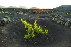 De beaux plants de vigne poussent sur un sol volcanique à la geria