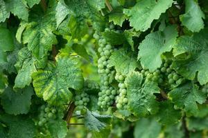 culture de raisins de cuve photo