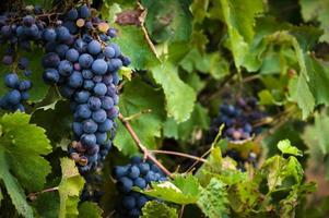 raisins rouges mûrs et luxuriants sur la vigne