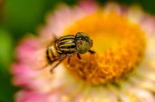 insecte pollinisateur fleur de paille photo