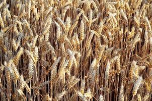 blé doré dans le champ photo