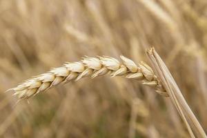 récolte de céréales photo