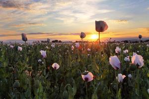 champ de coquelicots au coucher du soleil