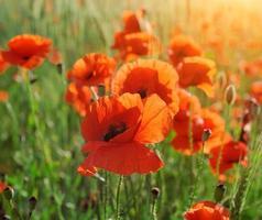 fleur de pavot sauvage