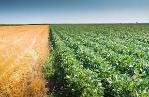 champ de soja