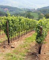 Vignobles dans la campagne toscane en italie