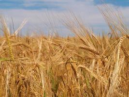 blé doré photo