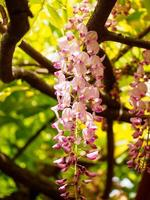 série de fleurs de printemps, treillis de glycine