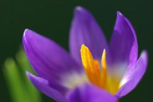 Plan macro sur une fleur de crocus violet photo